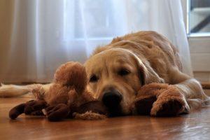 ぬいぐるみと寝てるゴールデンレトリバー