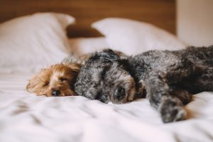 フカフカのベッドで寝る子犬