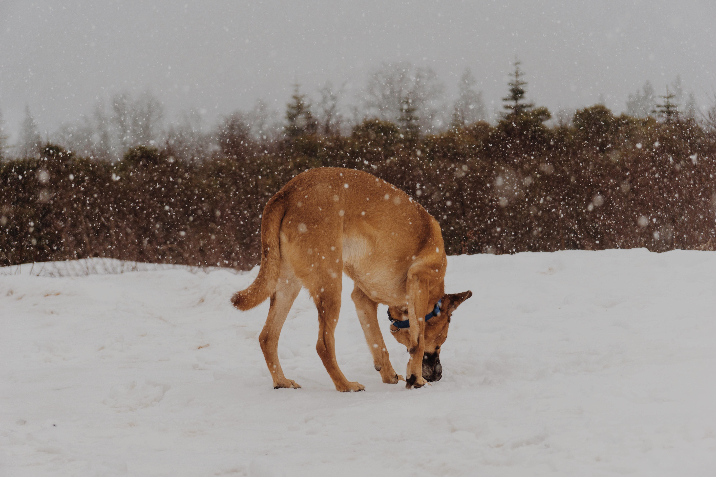 雪の中拾い食いをする犬