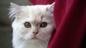 白猫と赤い布