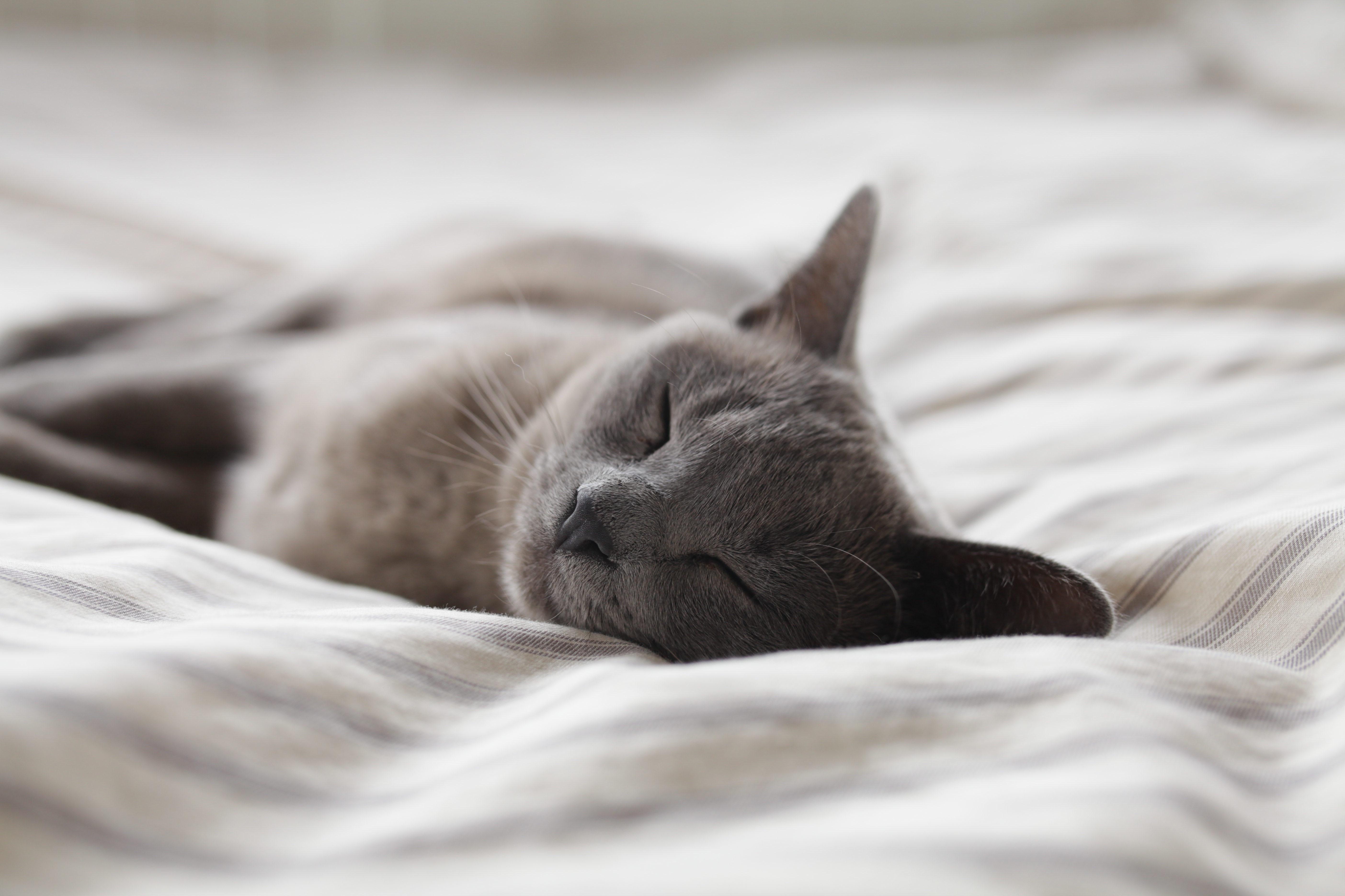 眠るロシアンブルー