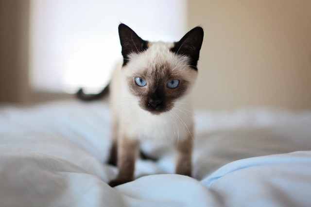 シャム猫の色はシーズンごと、年ごとに変わっていく