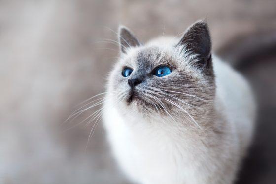 シャム猫?