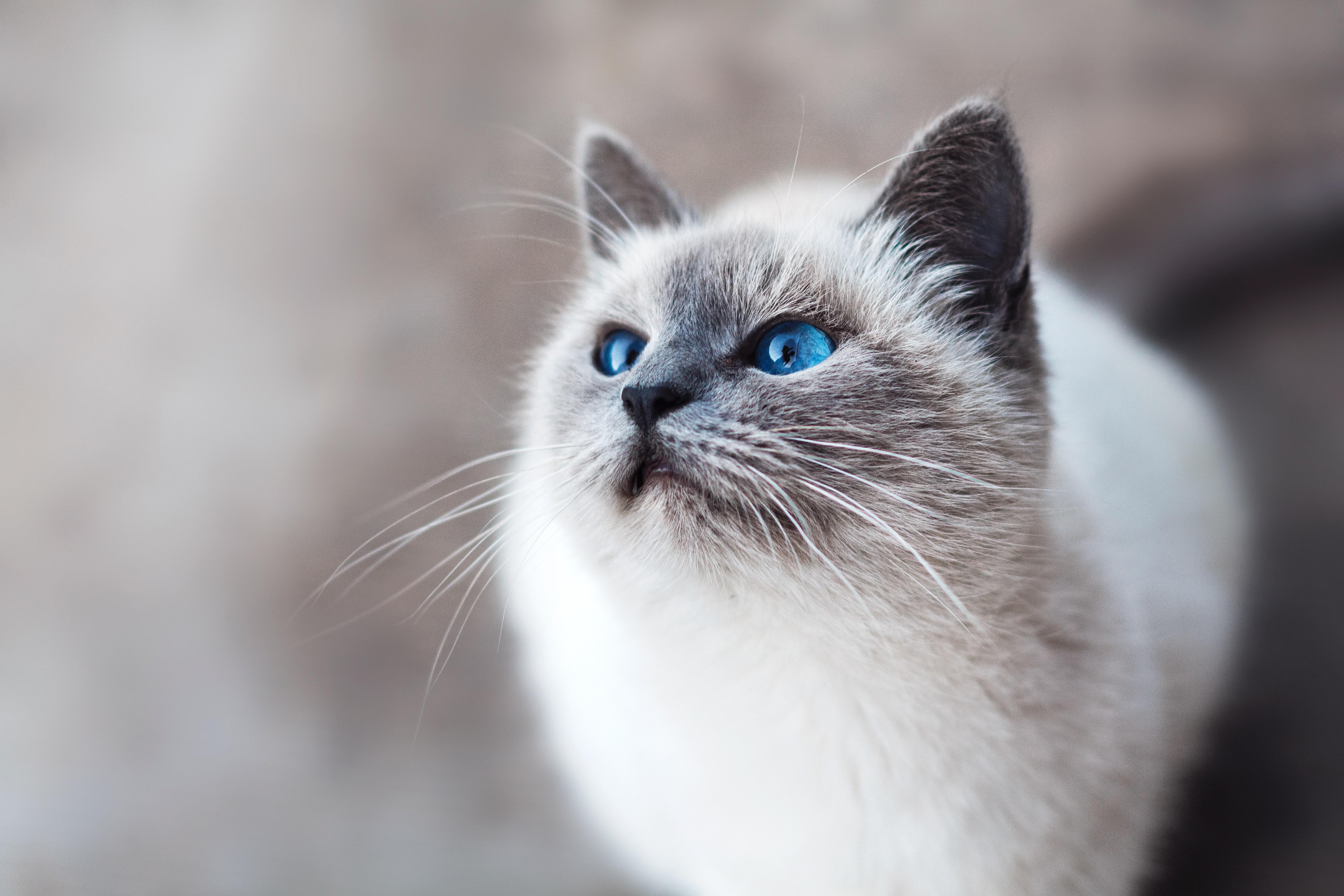 ほんとうにうちのシャム猫?