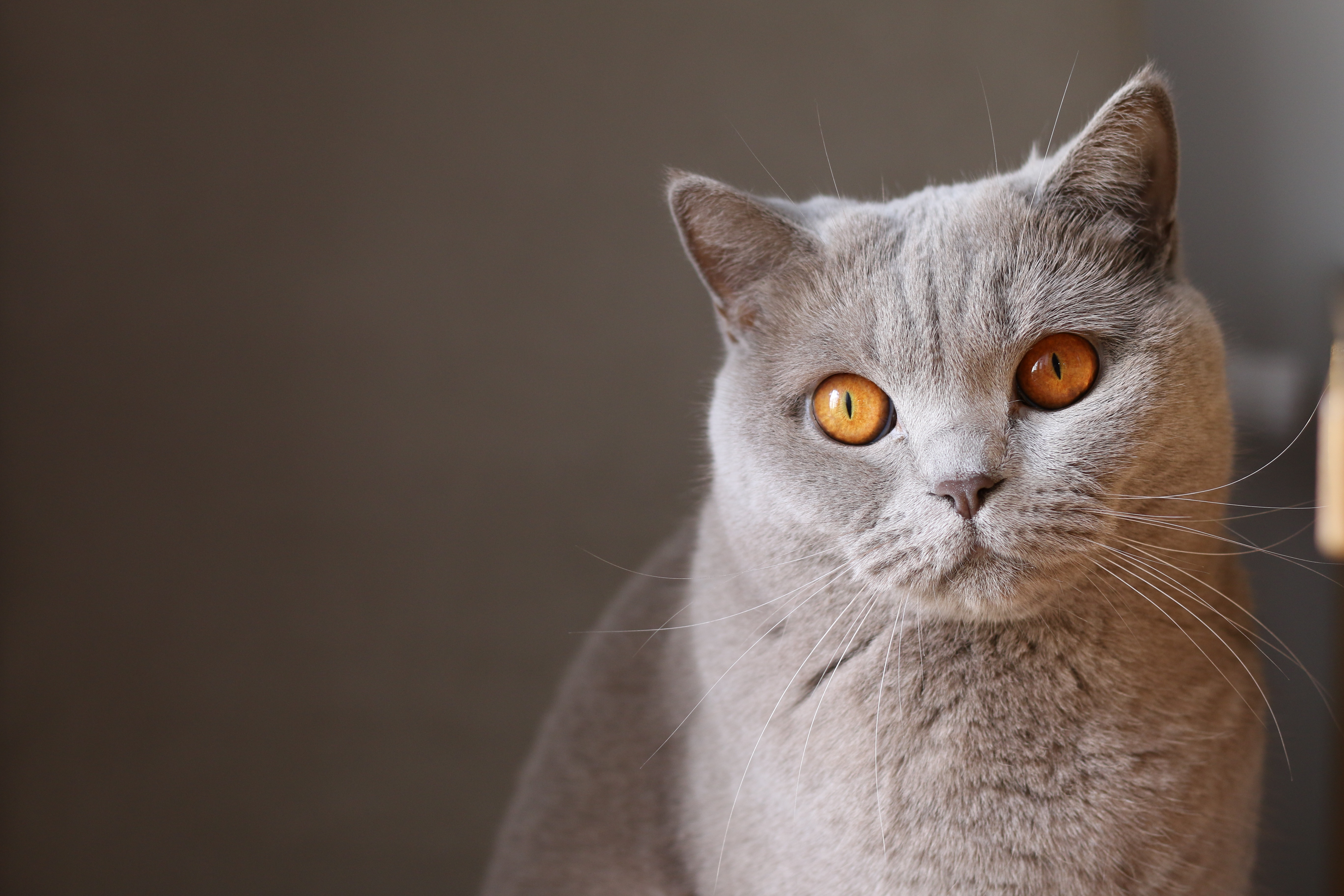 オレンジ目のロシアンブルー