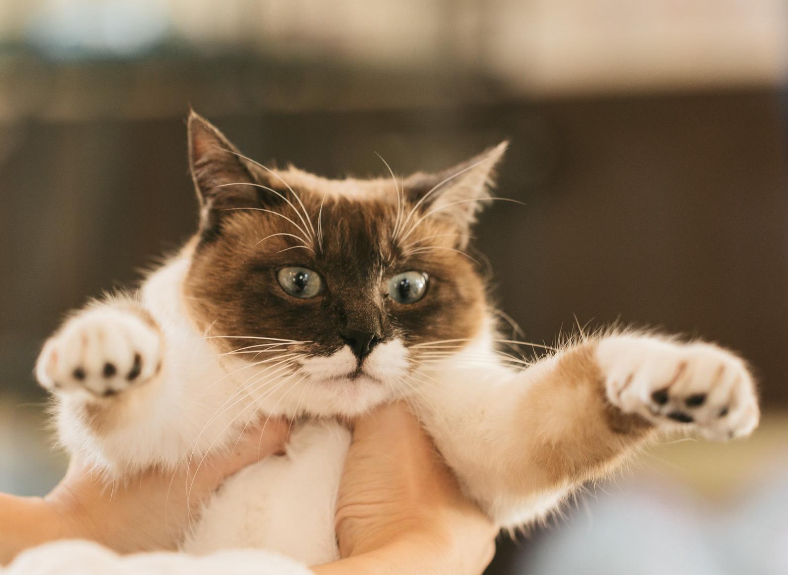 持ち上げられた猫