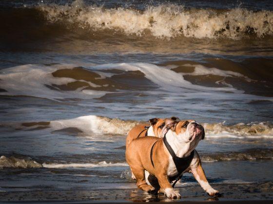 海辺を走るブルドッグ