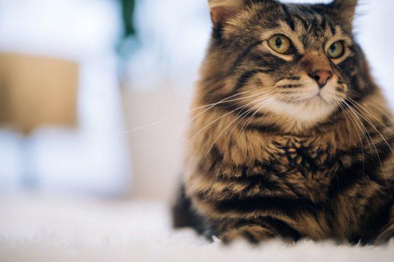 上流階級な猫