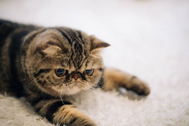 エキゾチックショート(猫)