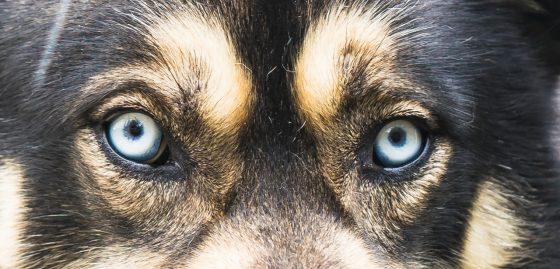 シベリアンハスキーの目