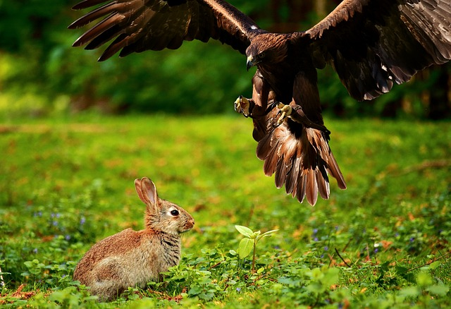 猛禽類と野うさぎ