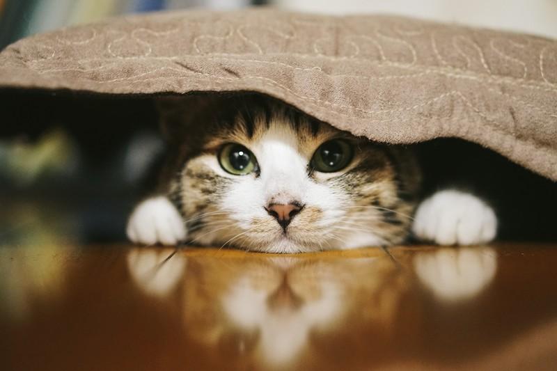 座布団の下に潜む猫