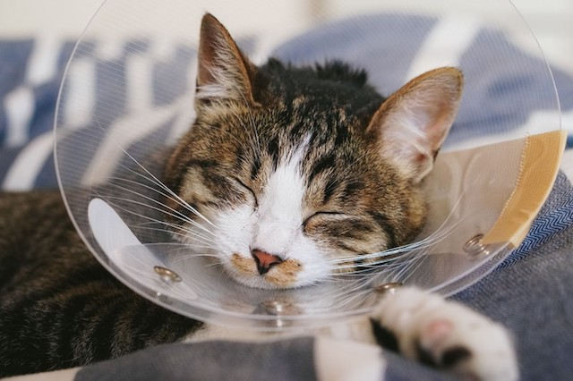 エリザベスカラーをつけたまま眠る猫