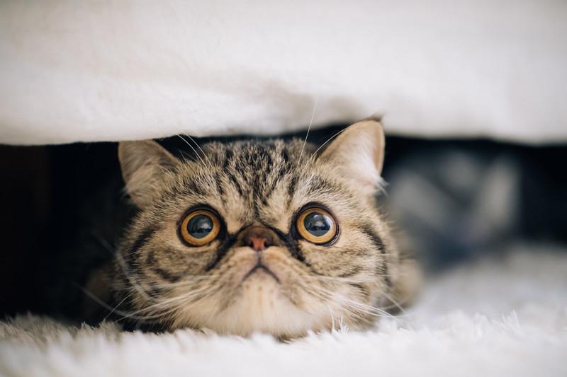 目を見開いた猫(エキゾチックショートヘア)