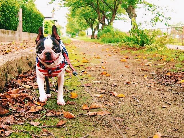 初詣にフレンチブルドックを散歩がてら連れて行く