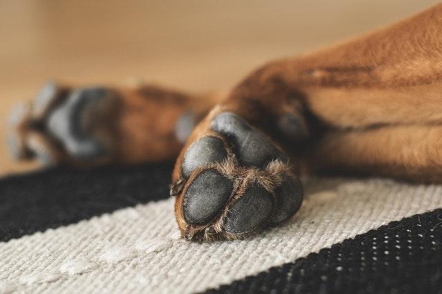 犬の肉球の乾燥を防ごう