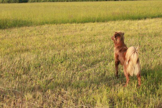 遠くを見つめる犬