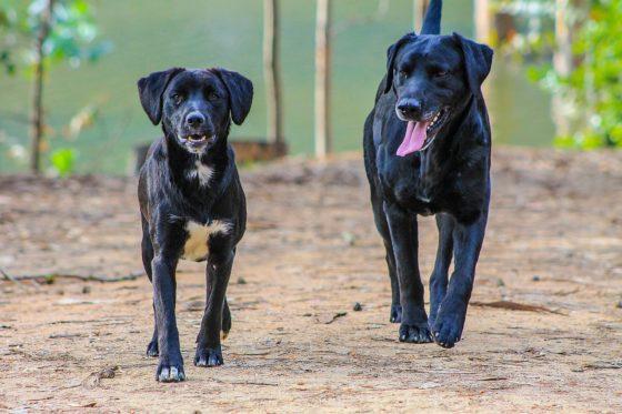 二頭の黒い犬