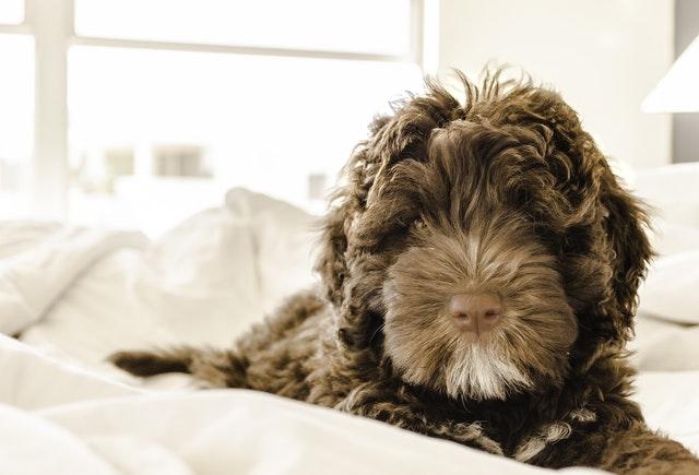 もふもふな犬がベッドで寝ている