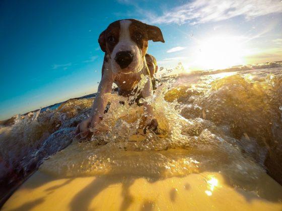 サーフィンする犬