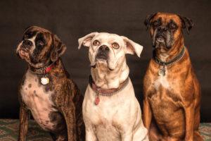 犬の垂れ耳の理由
