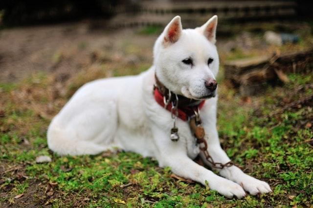 伏せる紀州犬