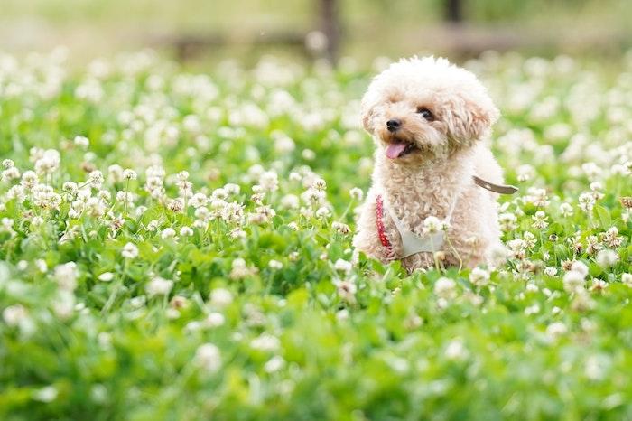 犬の花粉症の症状はアレルギー性皮膚炎として現れることが多い