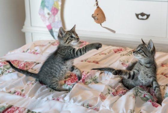 猫がおもちゃで遊ぶ