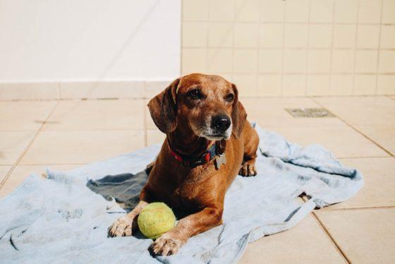 ボールを持って日に当たる犬