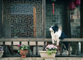 dog in china