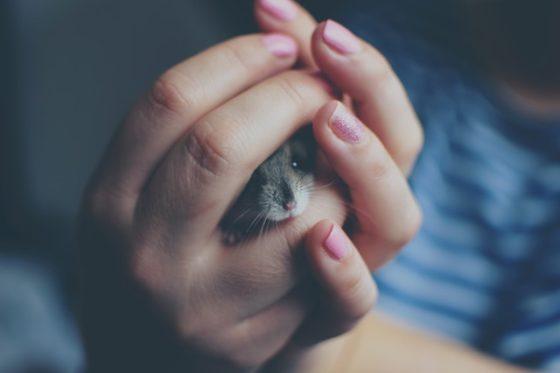 手の中にいるハムスター