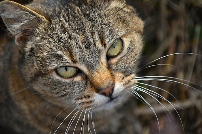 猫,ボディランゲージ,機嫌,悪い,嫌われている,嫌い,警戒,仕草,尻尾,ヒゲ,耳,口,目顔,表情,言葉,言語