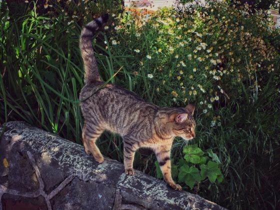 植え込みを歩く猫