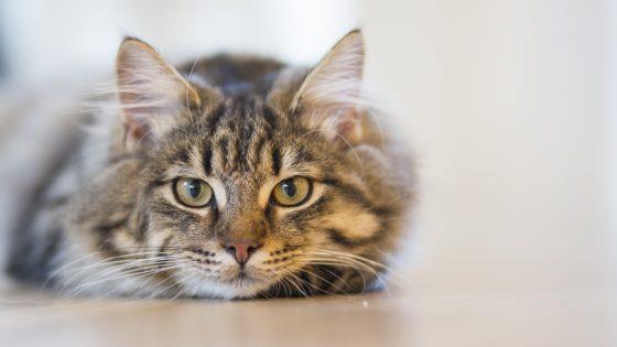 まっすぐこちらを見つめる猫