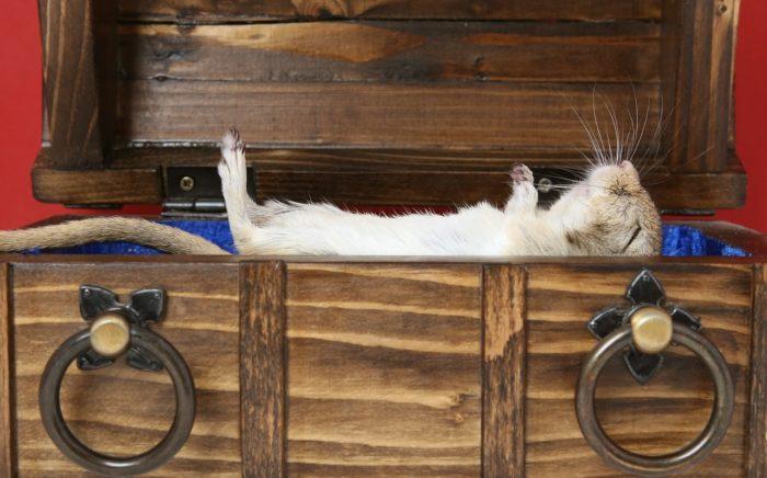 お家で寝転がるハムスター