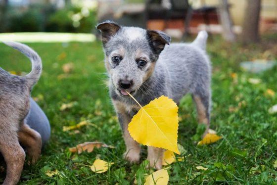 黄色い落ち葉を加える子犬