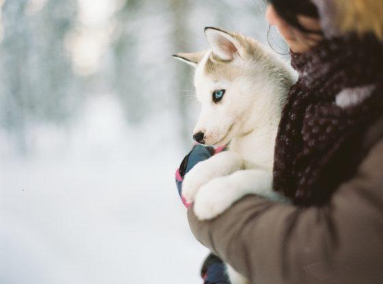 抱きかかえられるハスキー子犬