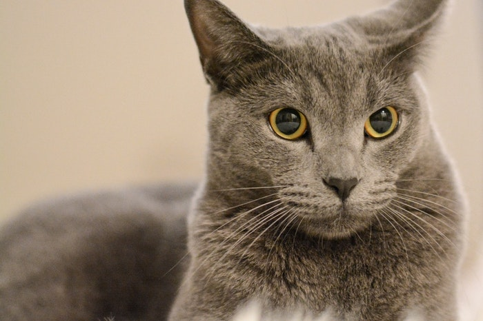 シャルトリュー,猫,ドラえもん,似ている