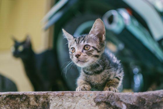 猫 声 枯れる ガラガラ 鳴き慣れていない