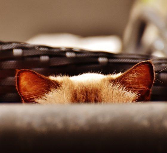 猫 声 枯れる ガラガラ 吐き気
