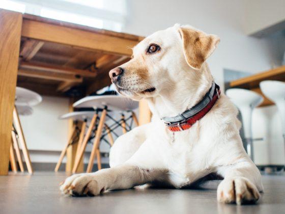犬の声が枯れているのはもしかして声変わり?