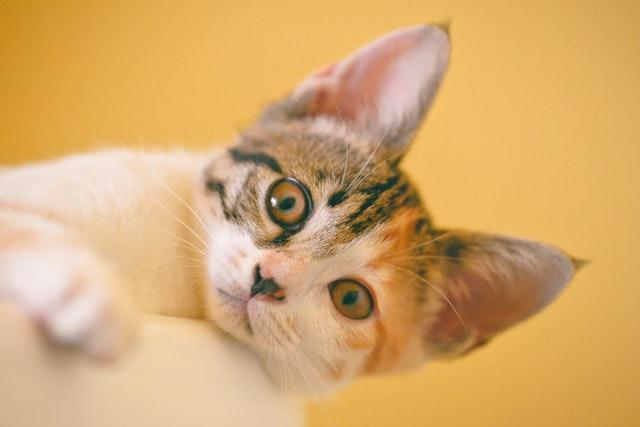 猫背景黄色