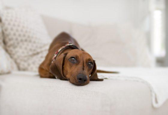 ソファに寝そべるダックスフンド