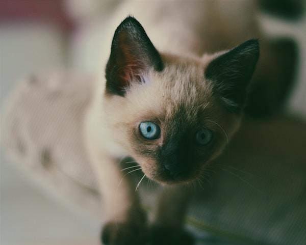 シャム猫の澄んだ青い目も、同じ原理でそうなっている