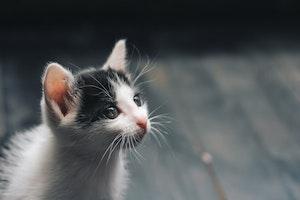 猫 声 枯れる ガラガラ サイレントニャー