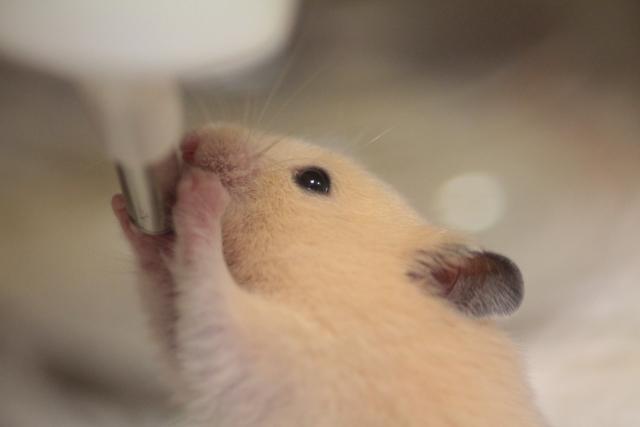 ハムスター,ペット,名前,海外,おしゃれ,かっこいい,可愛い,かわいい,珍しい,英語,