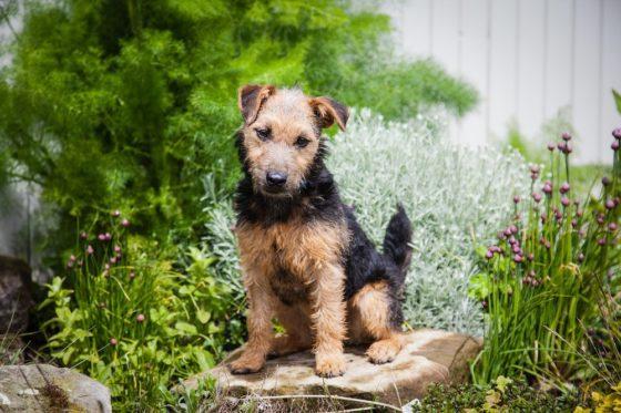 テリア 犬種 コンパニオン犬
