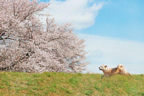 東京都内で犬と一緒にお花見ができるおすすめの公園