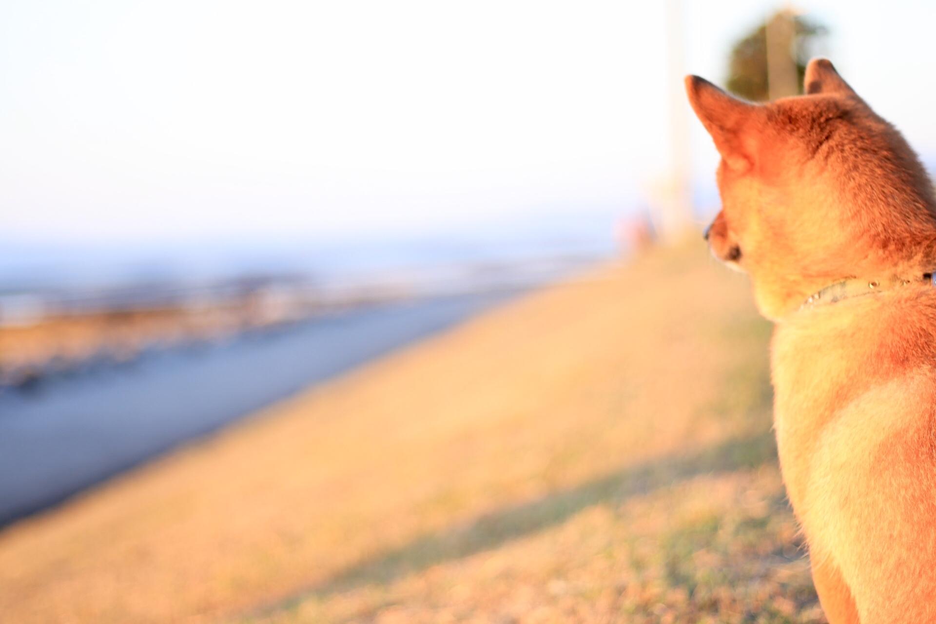芝犬の画像
