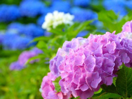きれいな紫陽花ですが…